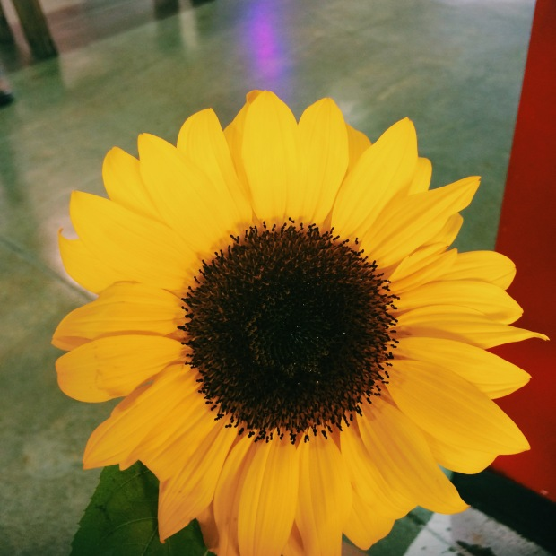 & then the love bug bought me the most beautiful sunflower like the darling he is.